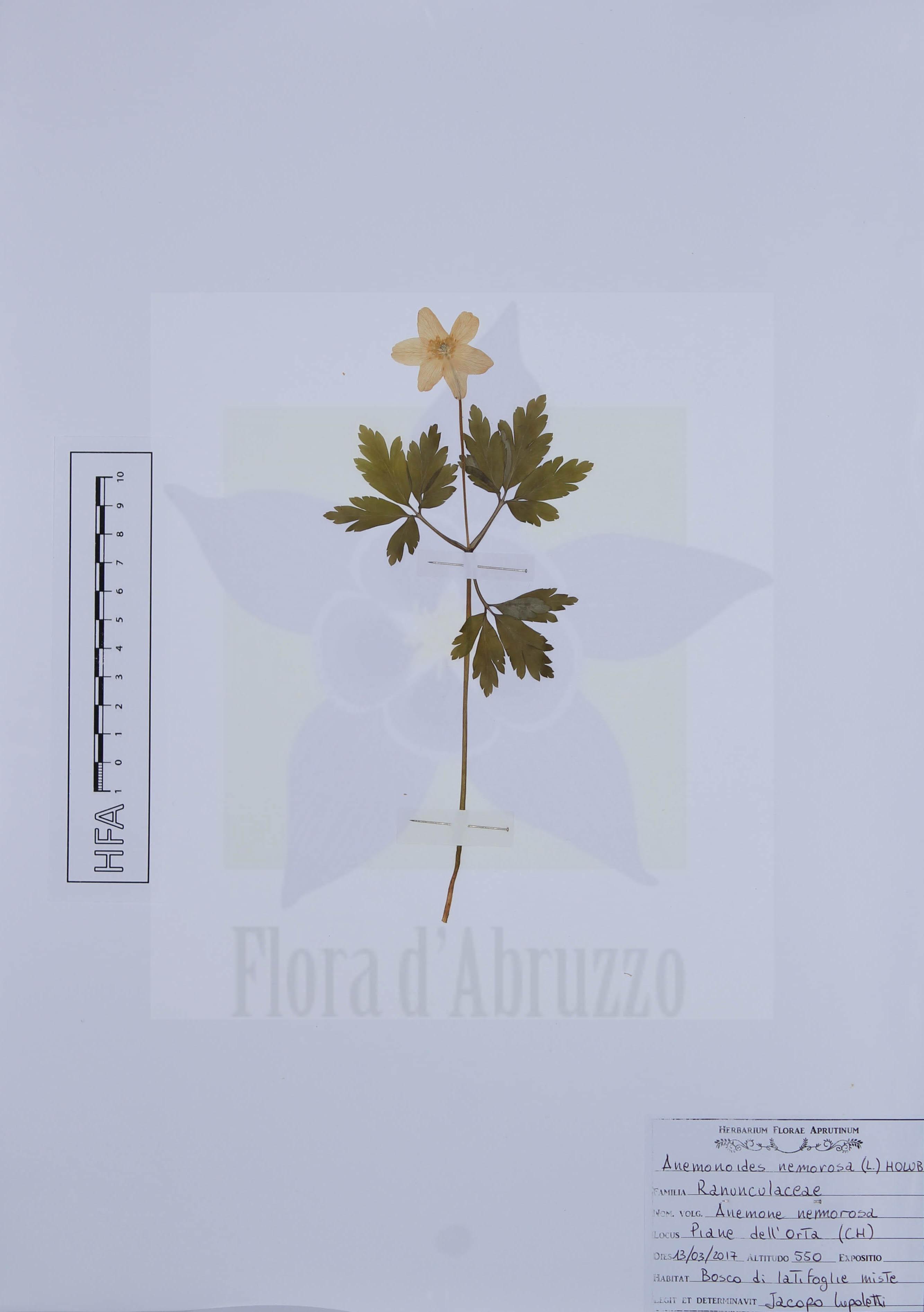 Anemonoides nemorosa(L.) Holub