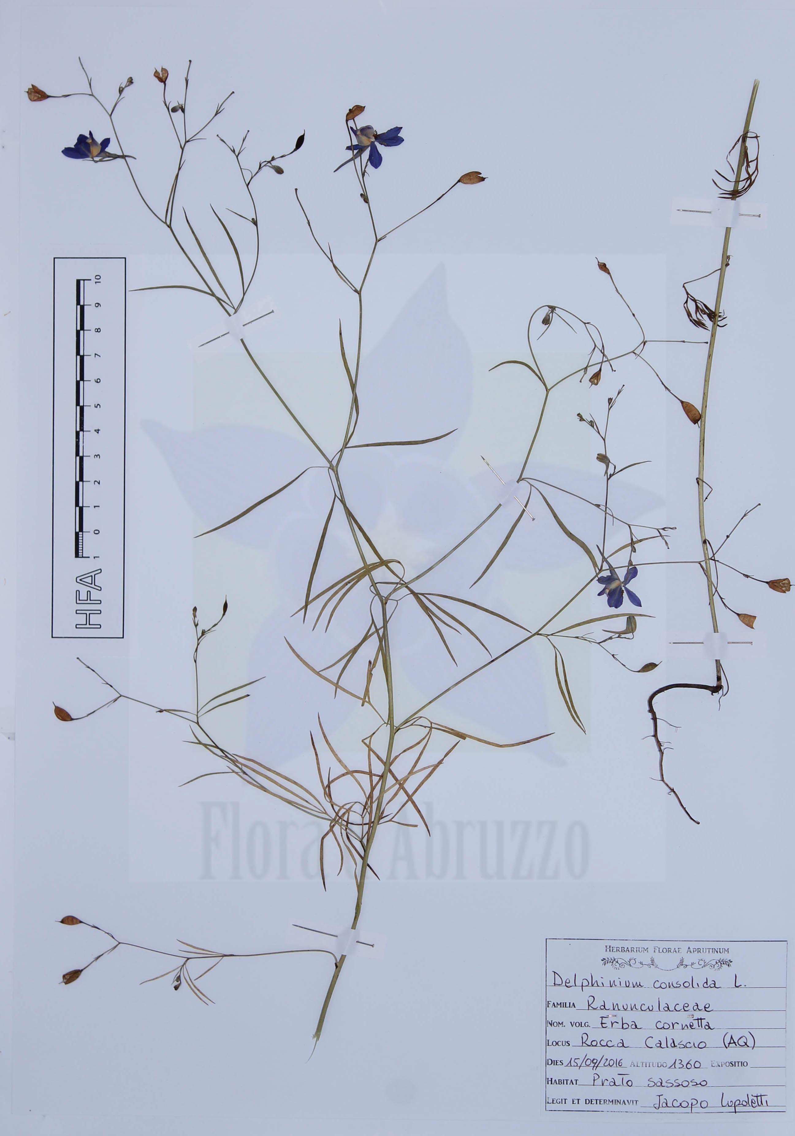 Delphinium consolidaL. subsp.consolida