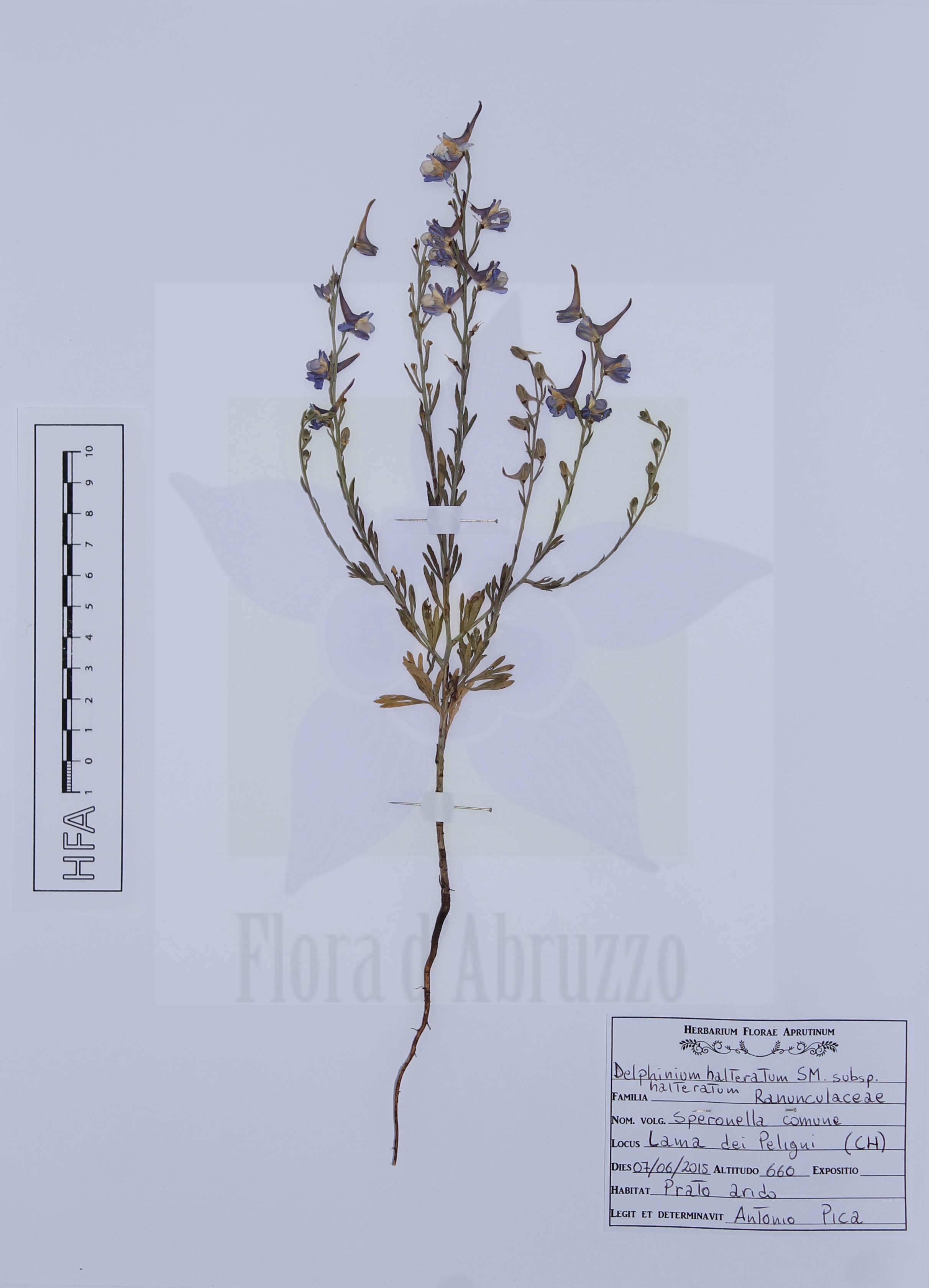 Delphinium halteratum Sm. subsp. halteratum