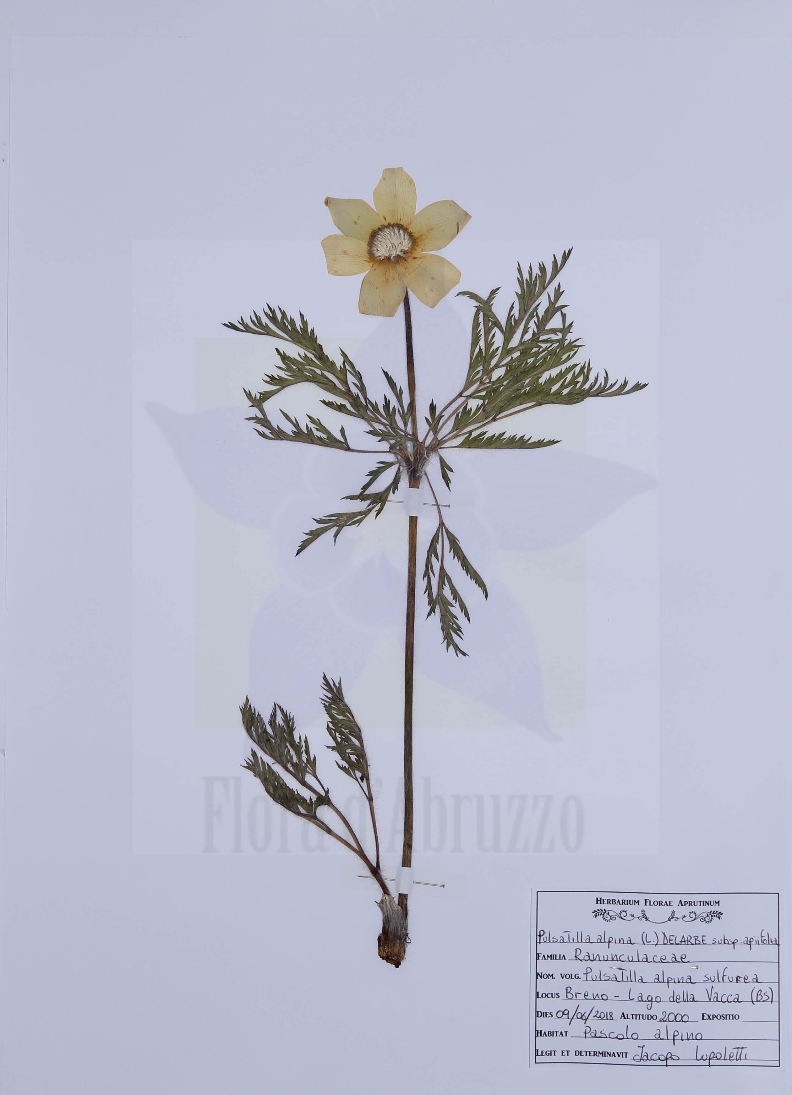 Pulsatilla alpina (L.) Delarbre subsp. apiifolia (Scop.) Nyman