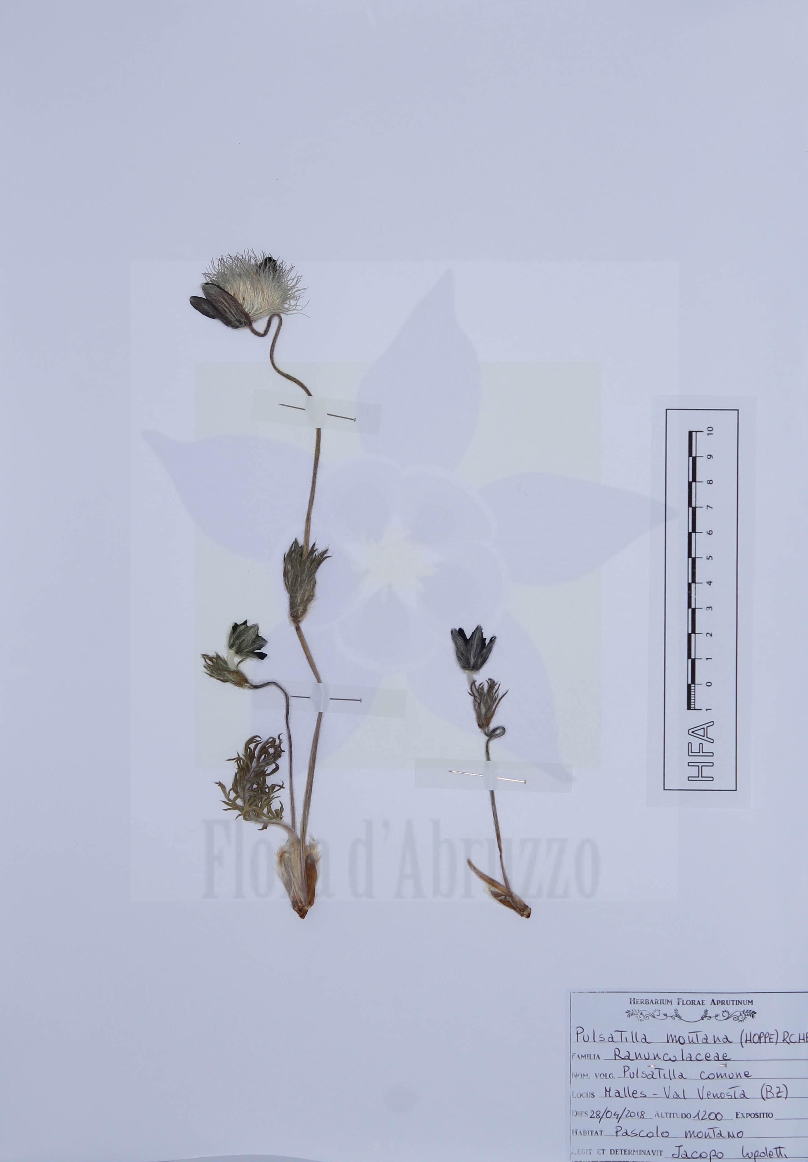 Pulsatilla montana (Hoppe) Rchb.