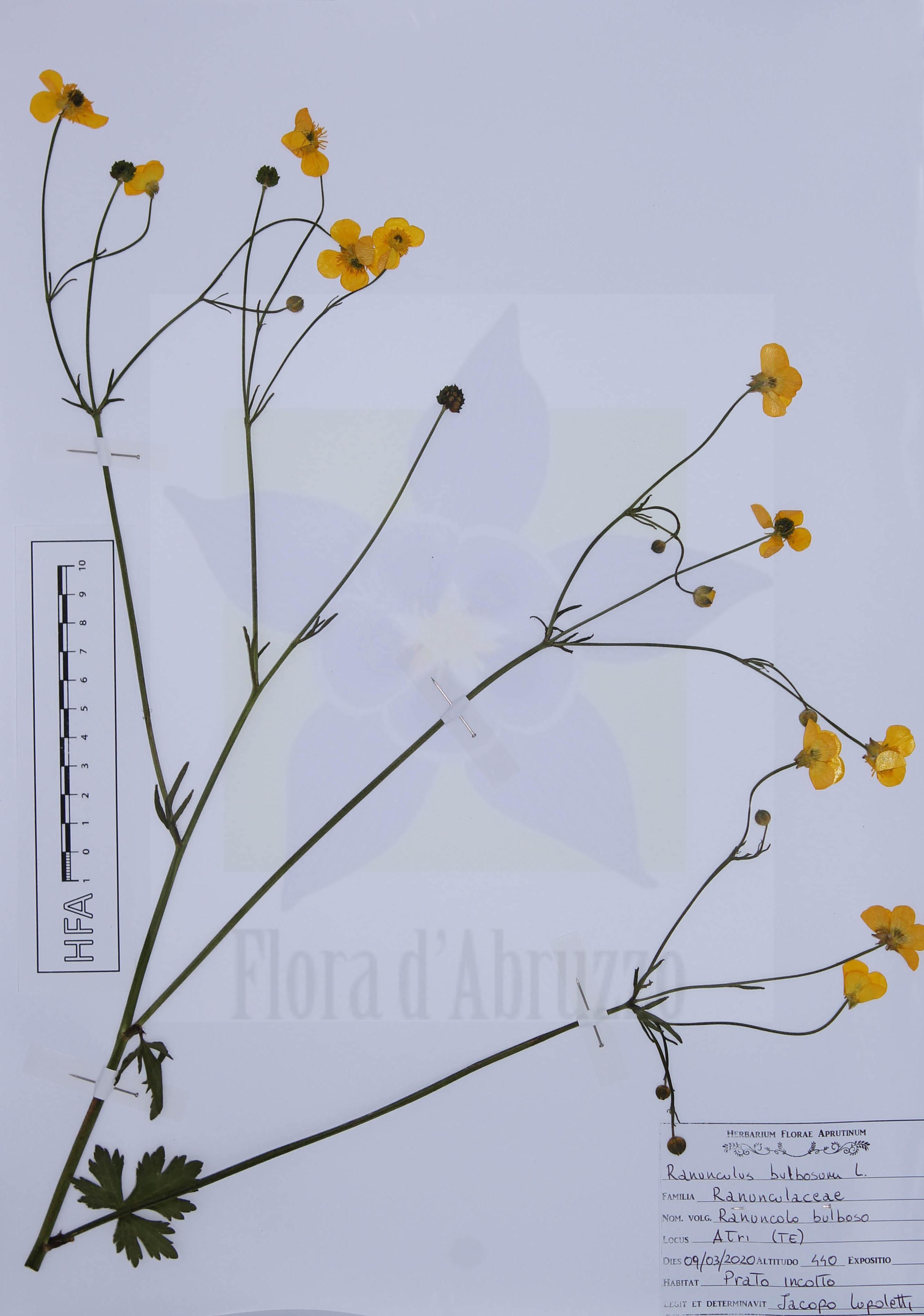 Ranunculus bulbosus L