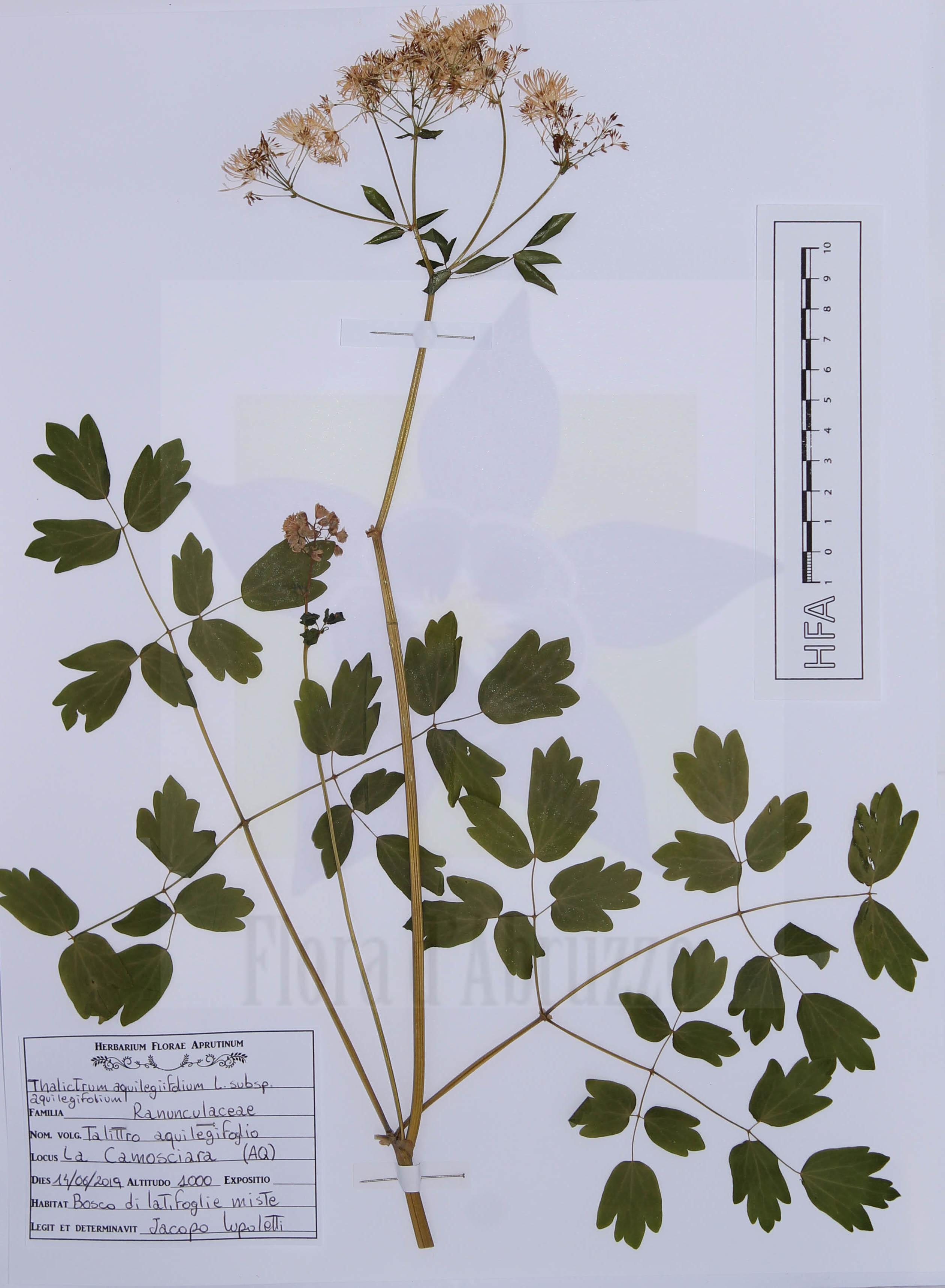Thalictrum aquilegiifolium L. subsp. aquilegiifolium
