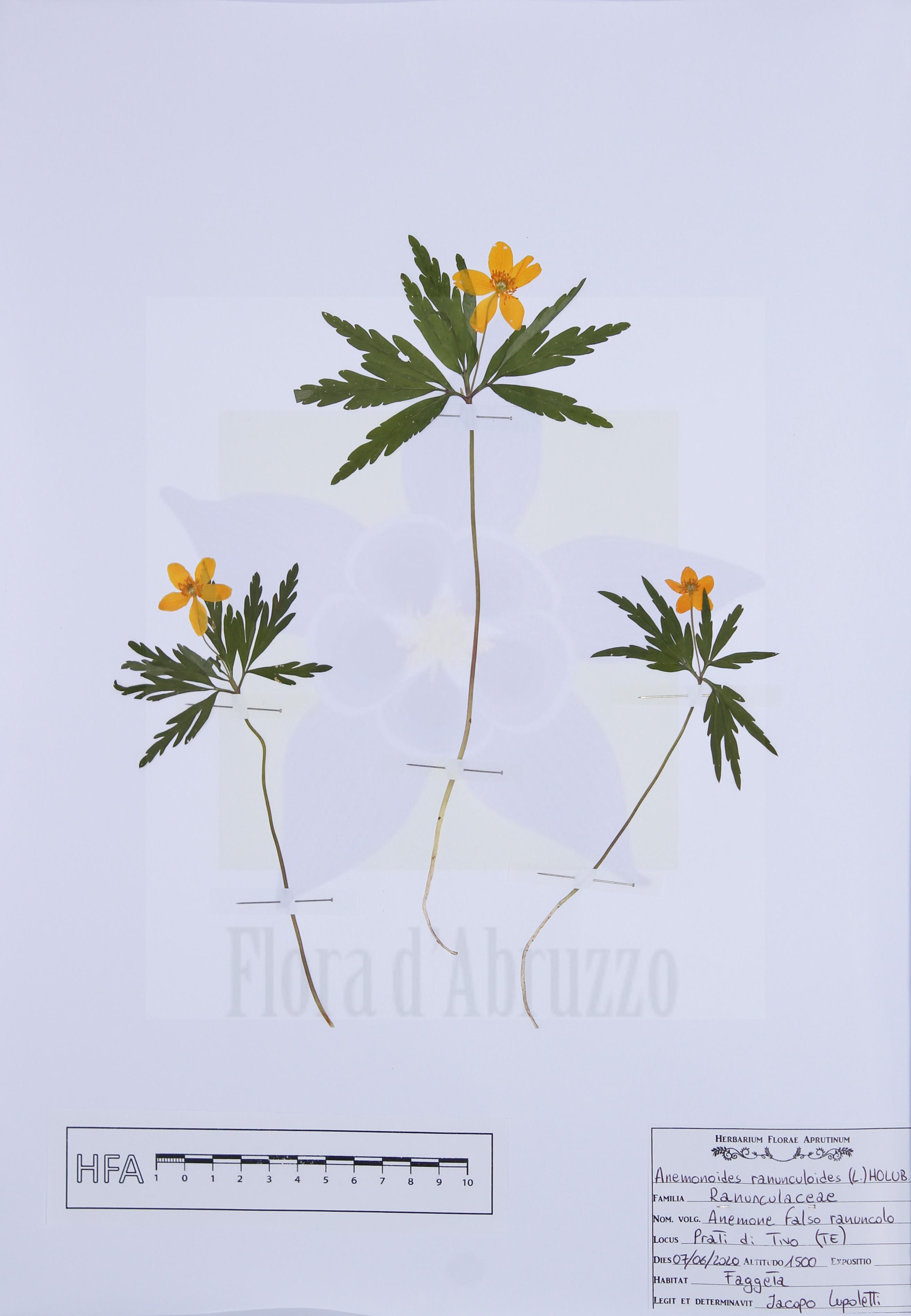 Anemonoides ranunculoides(L.) Holub