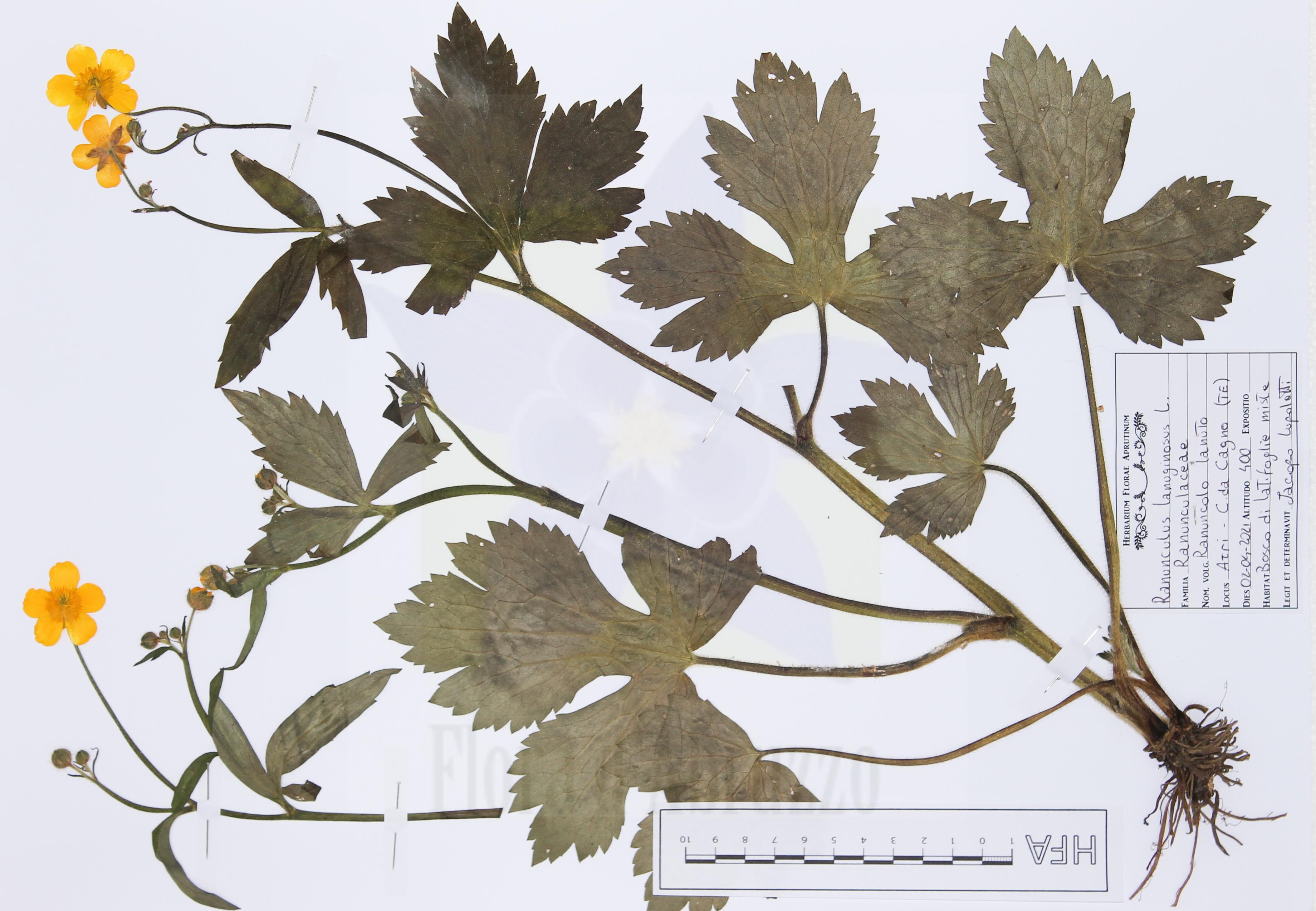 Ranunculus lanuginosusL.
