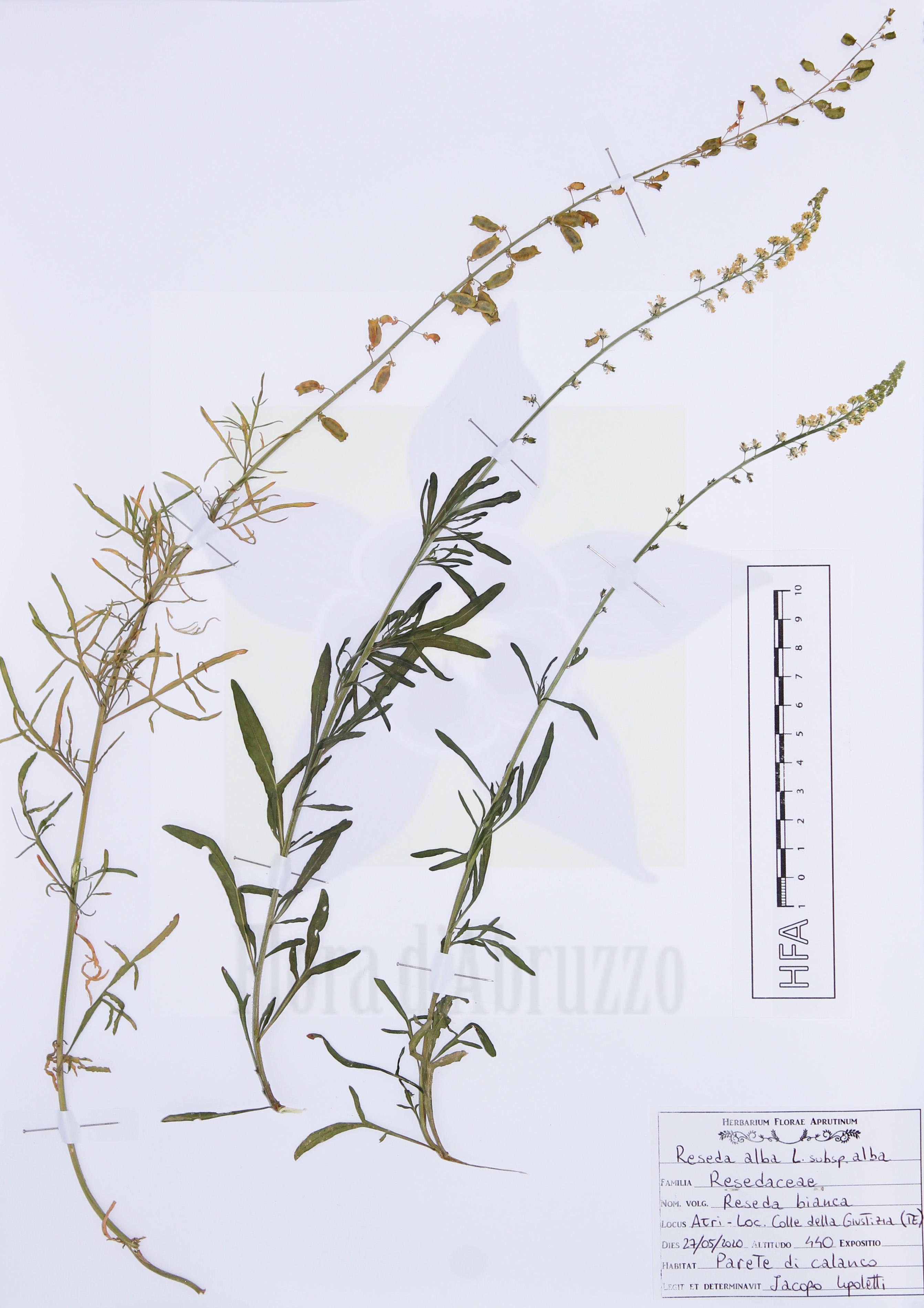 Reseda albaL. subsp.alba