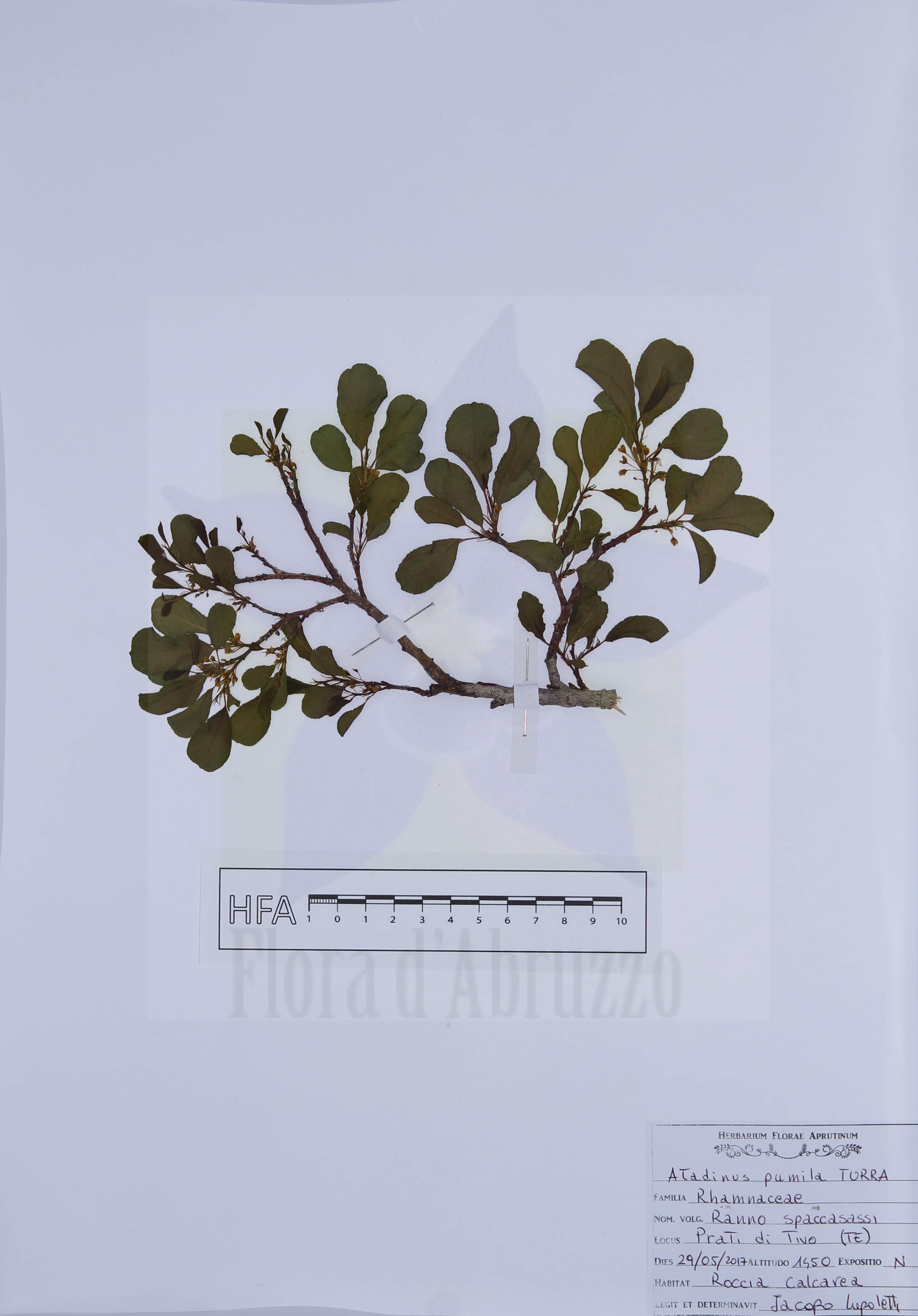 Atadinus pumilus (Turra) Hauenschild