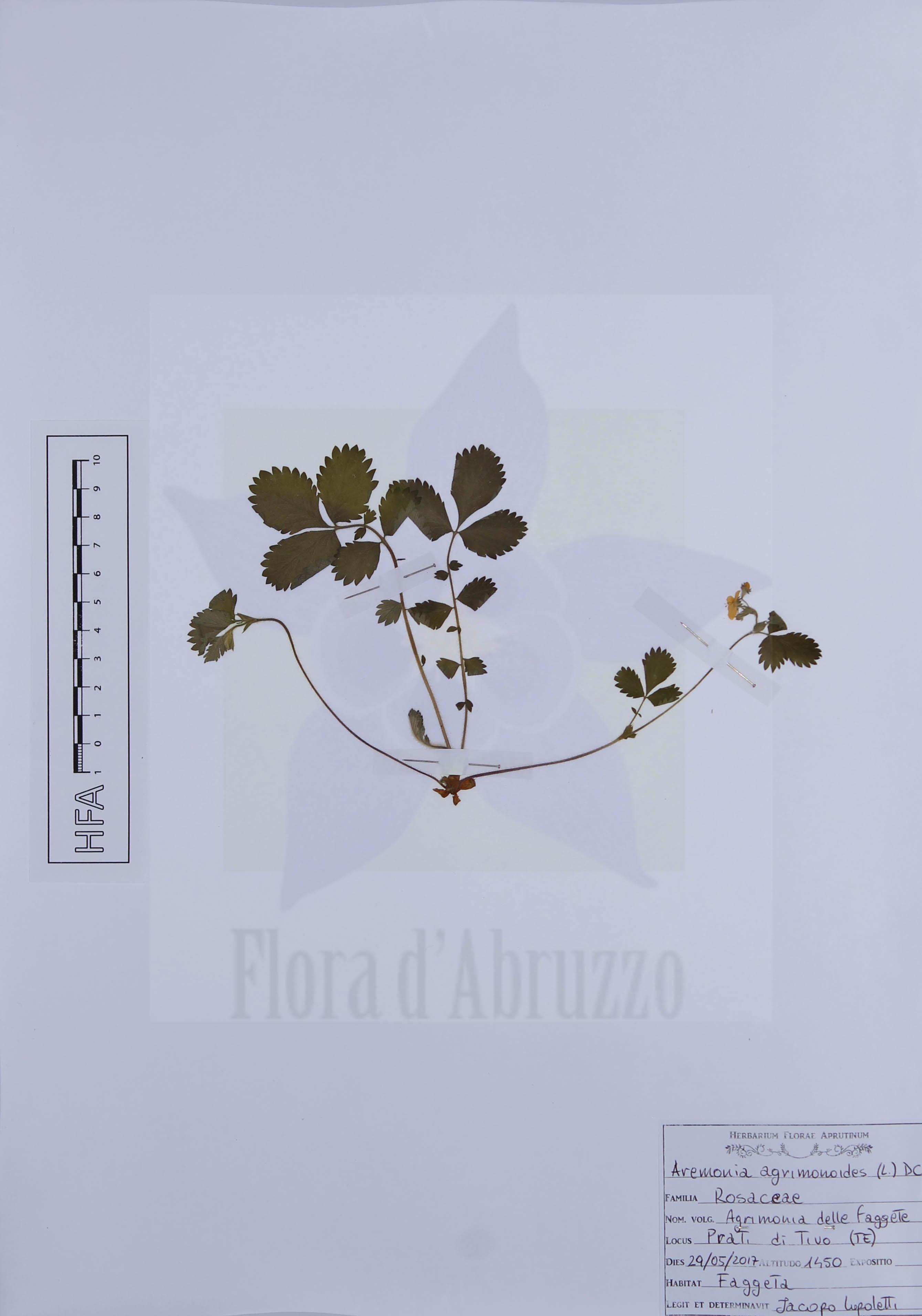 Aremonia agrimonoides (L.) DC.