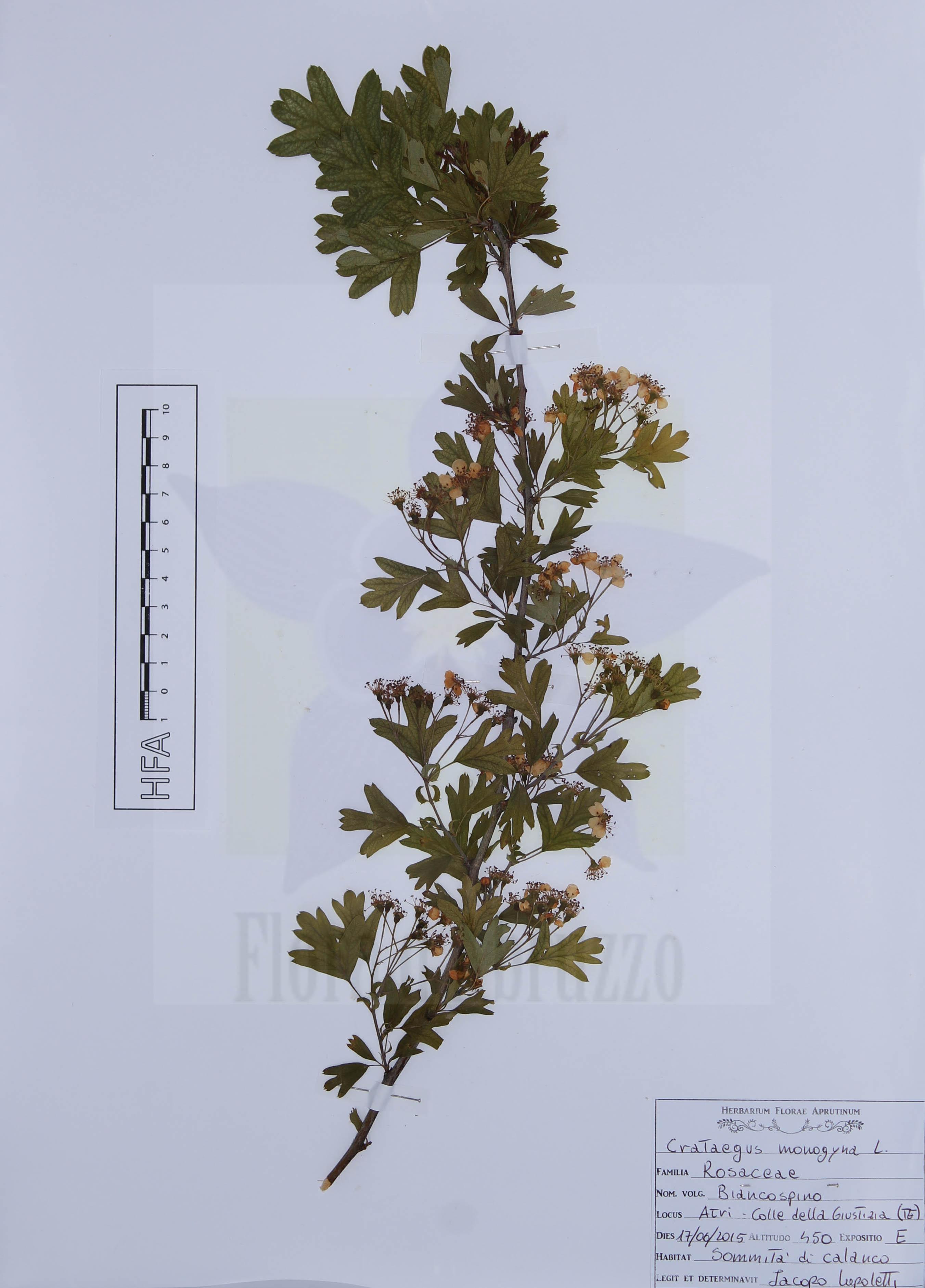 Crataegus monogyna L.