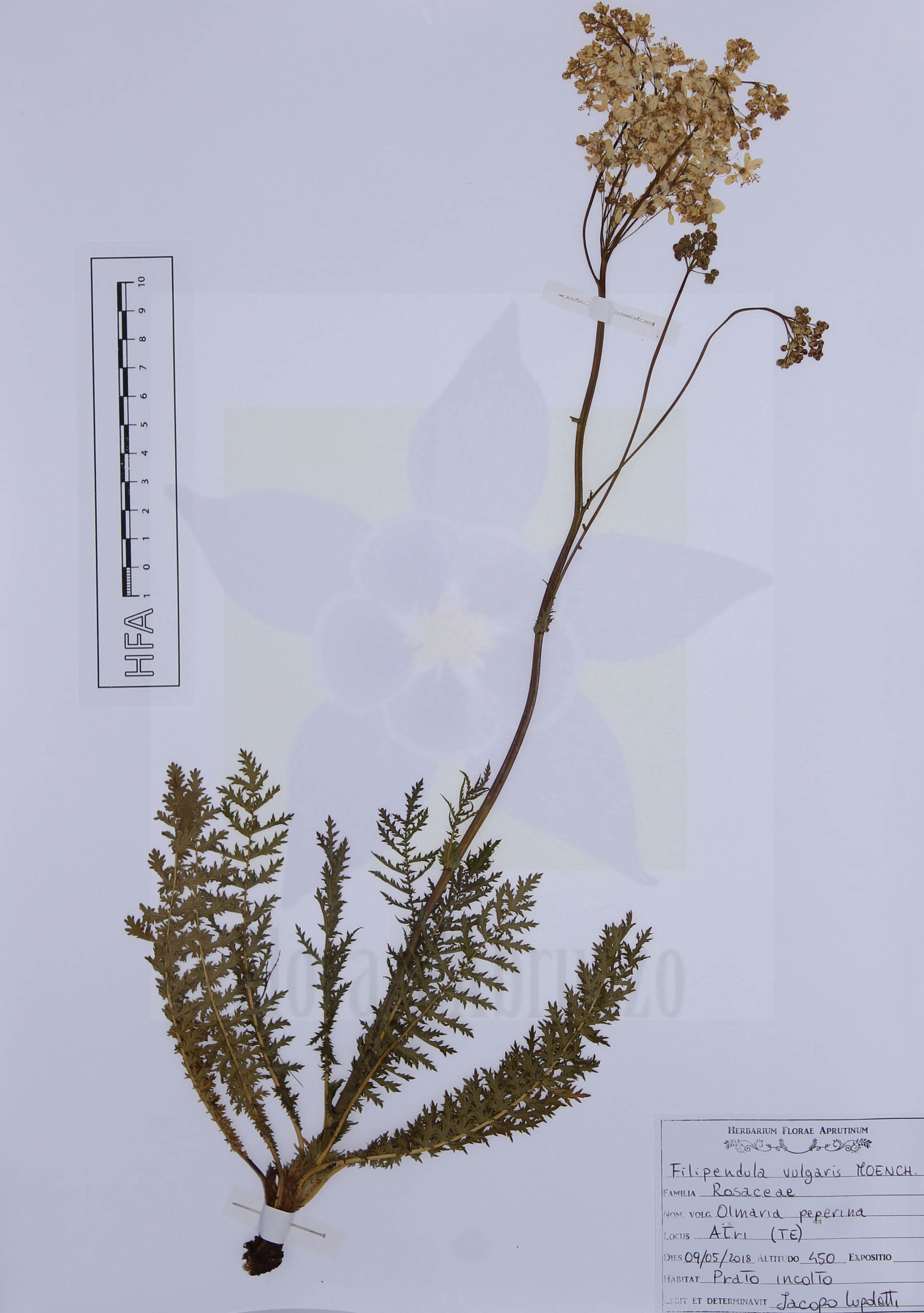 Filipendula vulgaris Moench.