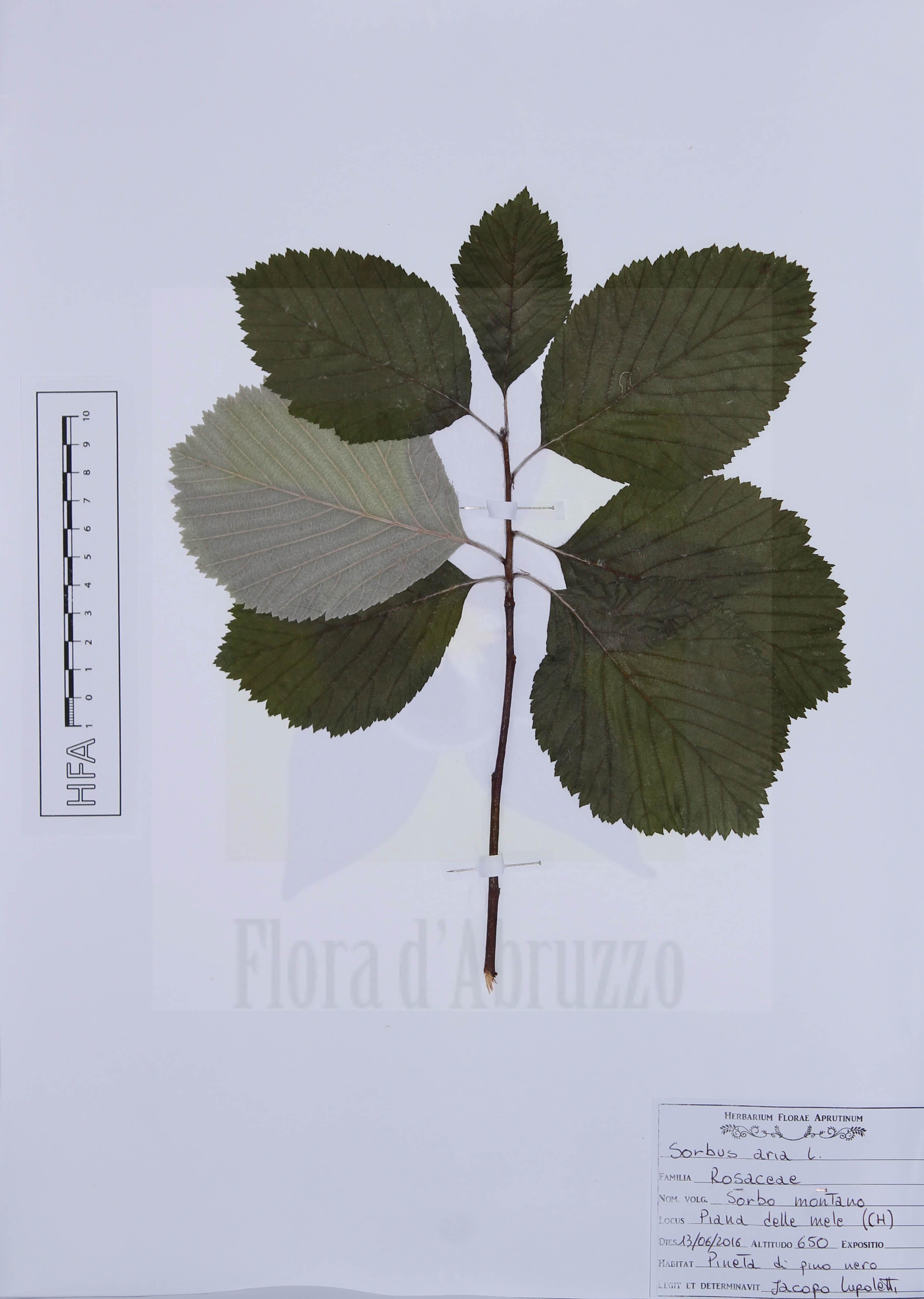 Sorbus aria L.
