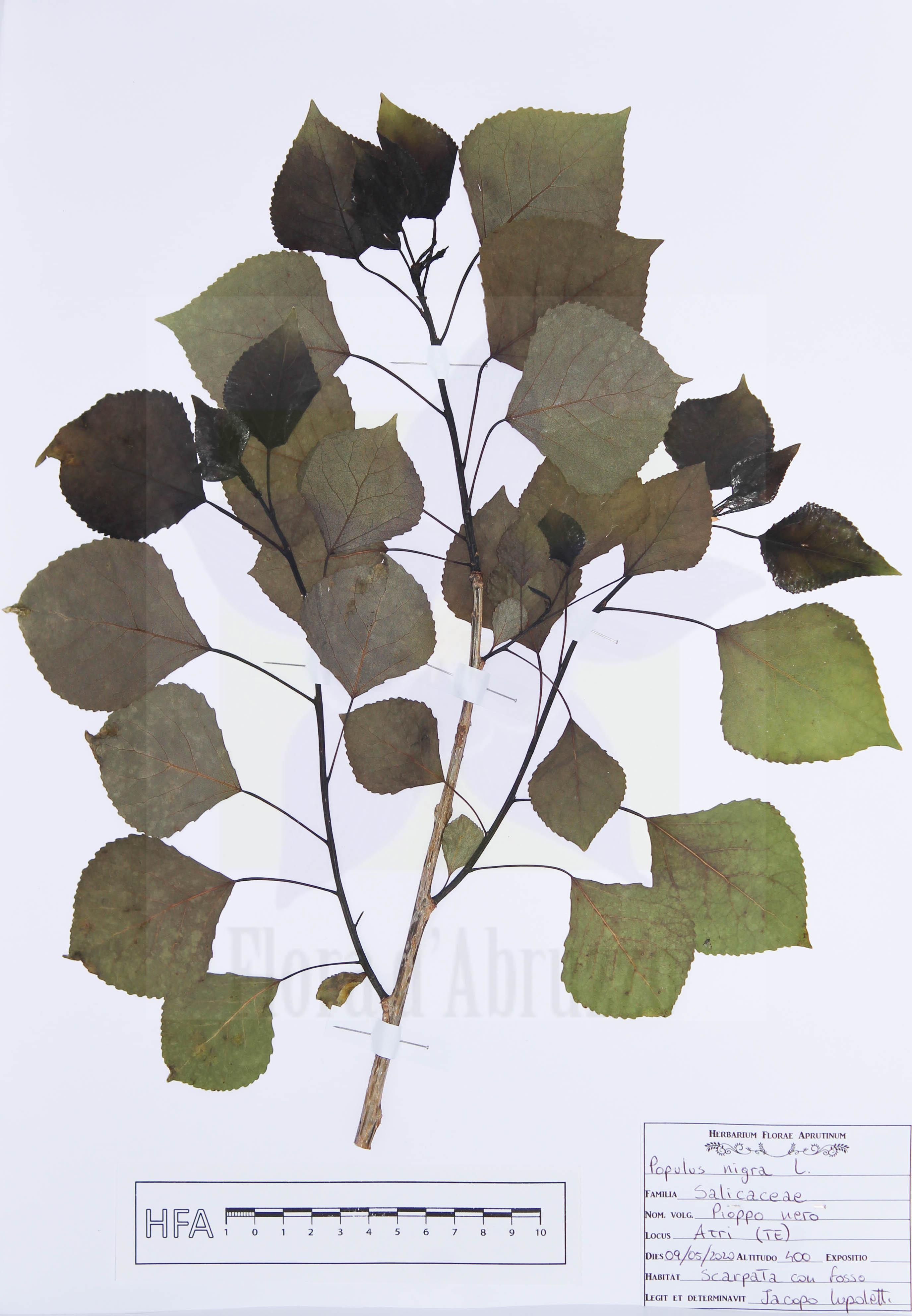 Populus nigraL.