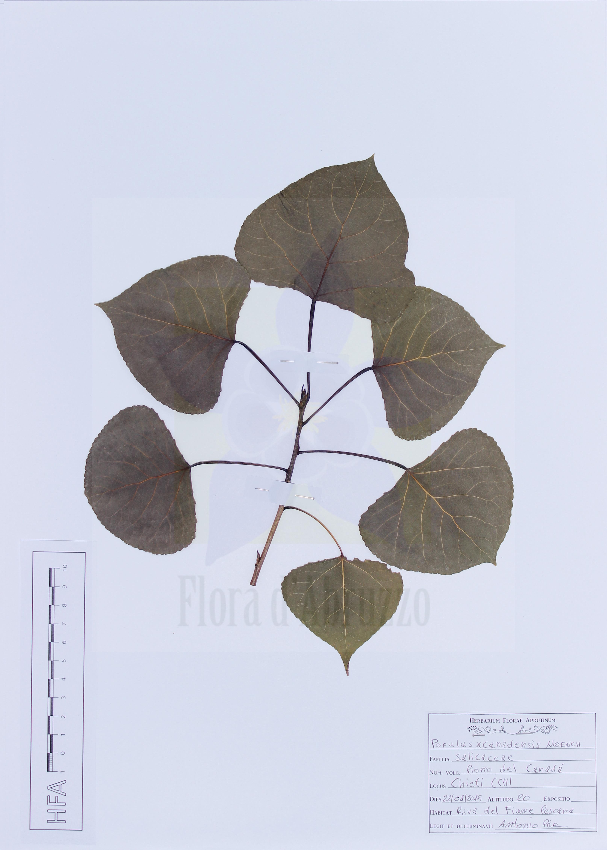 Populus xcanadensisMoench