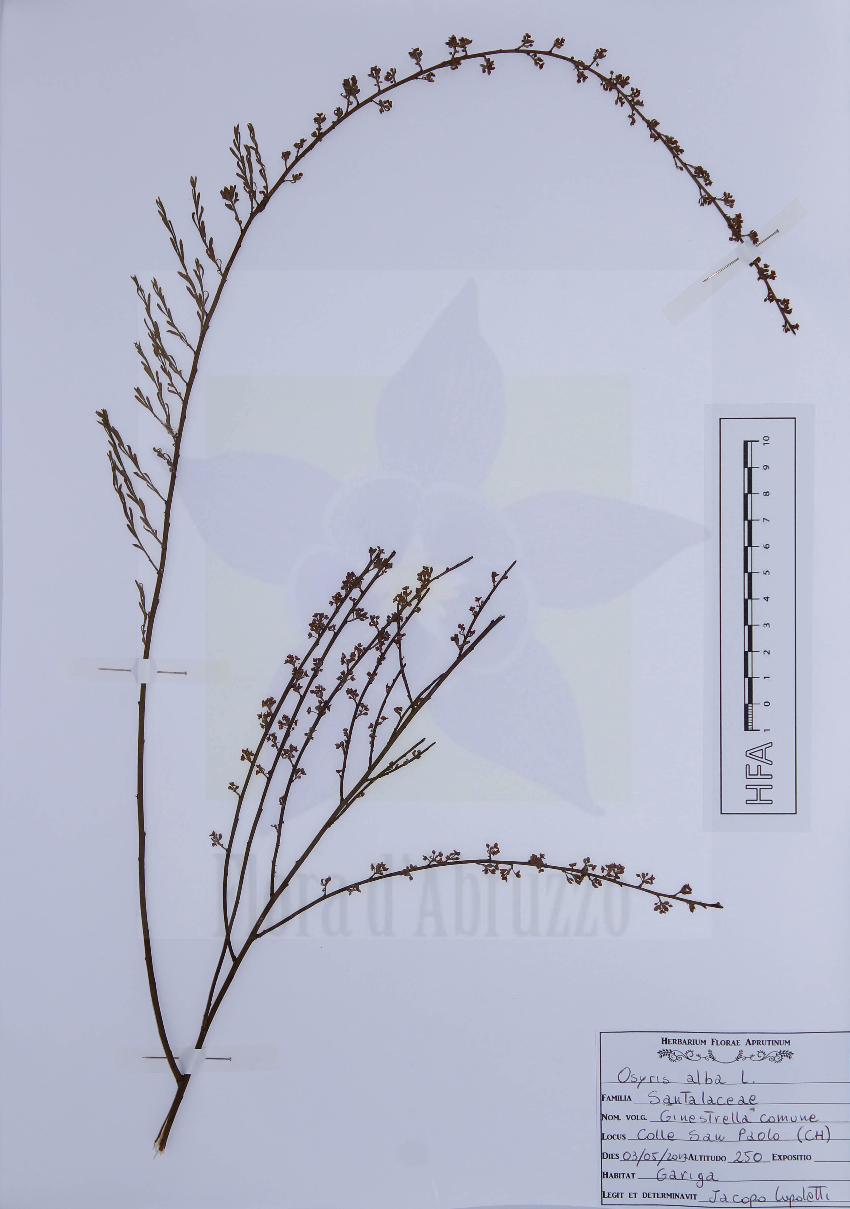 Osyris alba L.