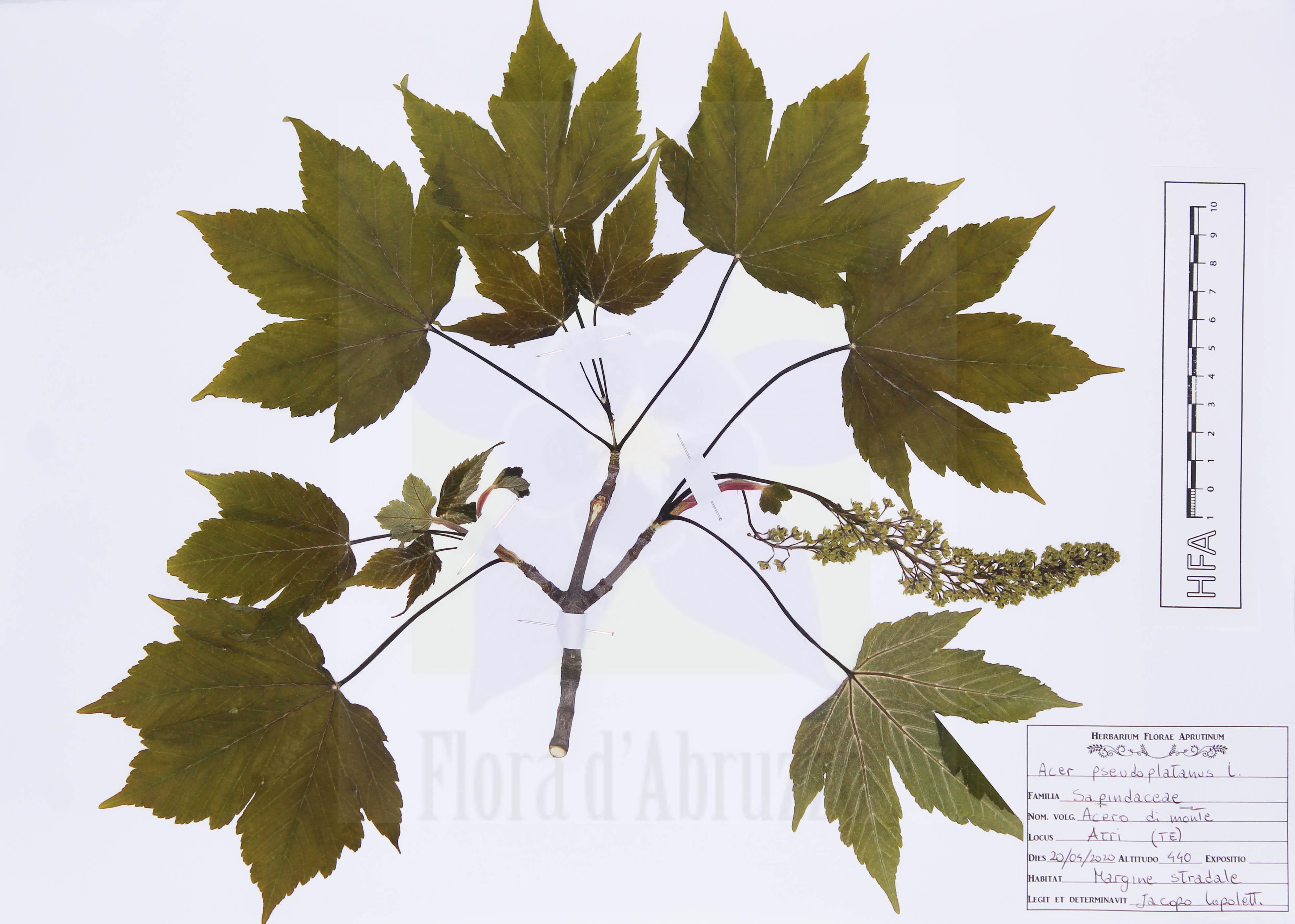 Acer pseudoplatanusL