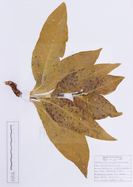 Verbascum longifoliumTen.