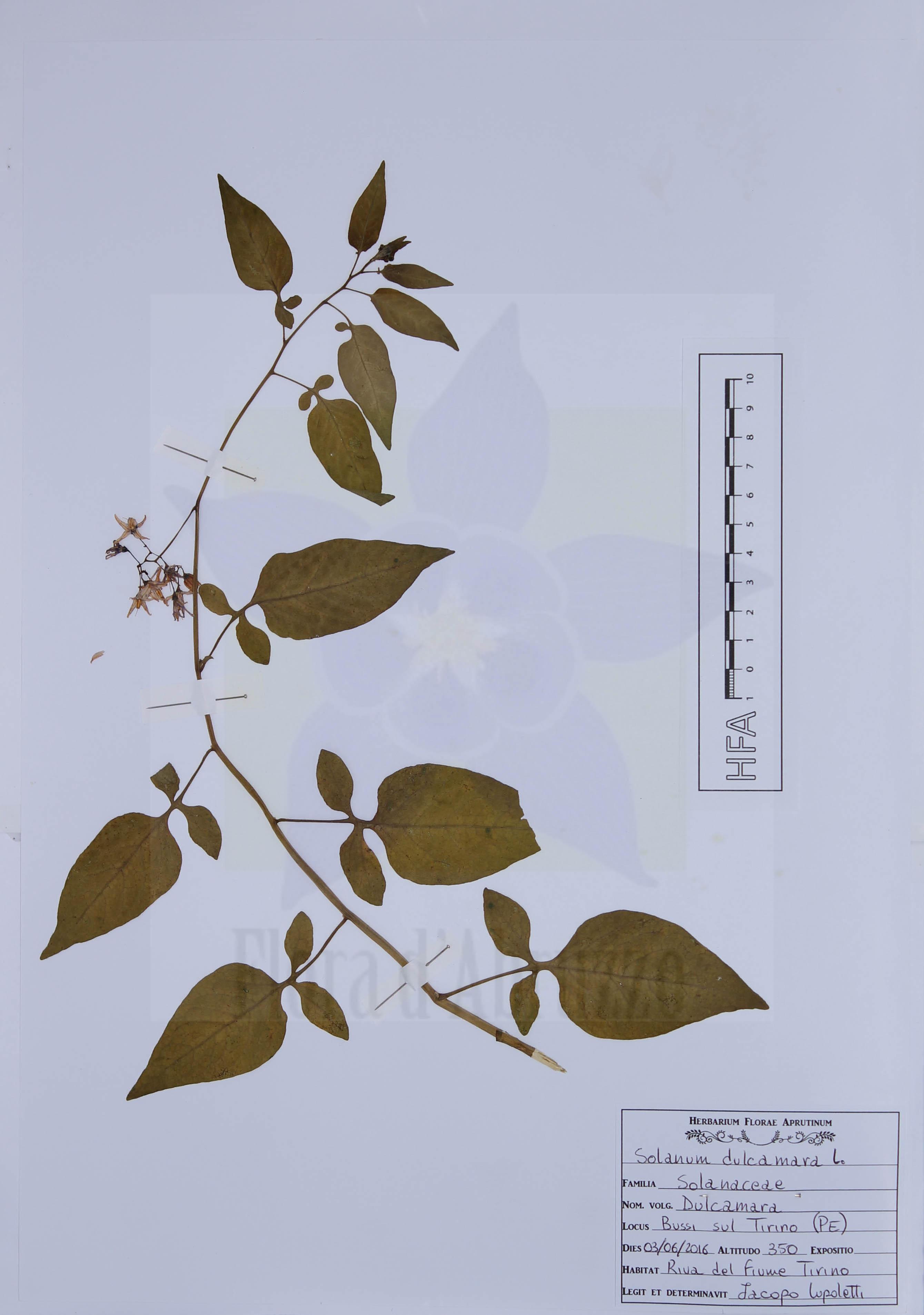 Solanum dulcamara L.