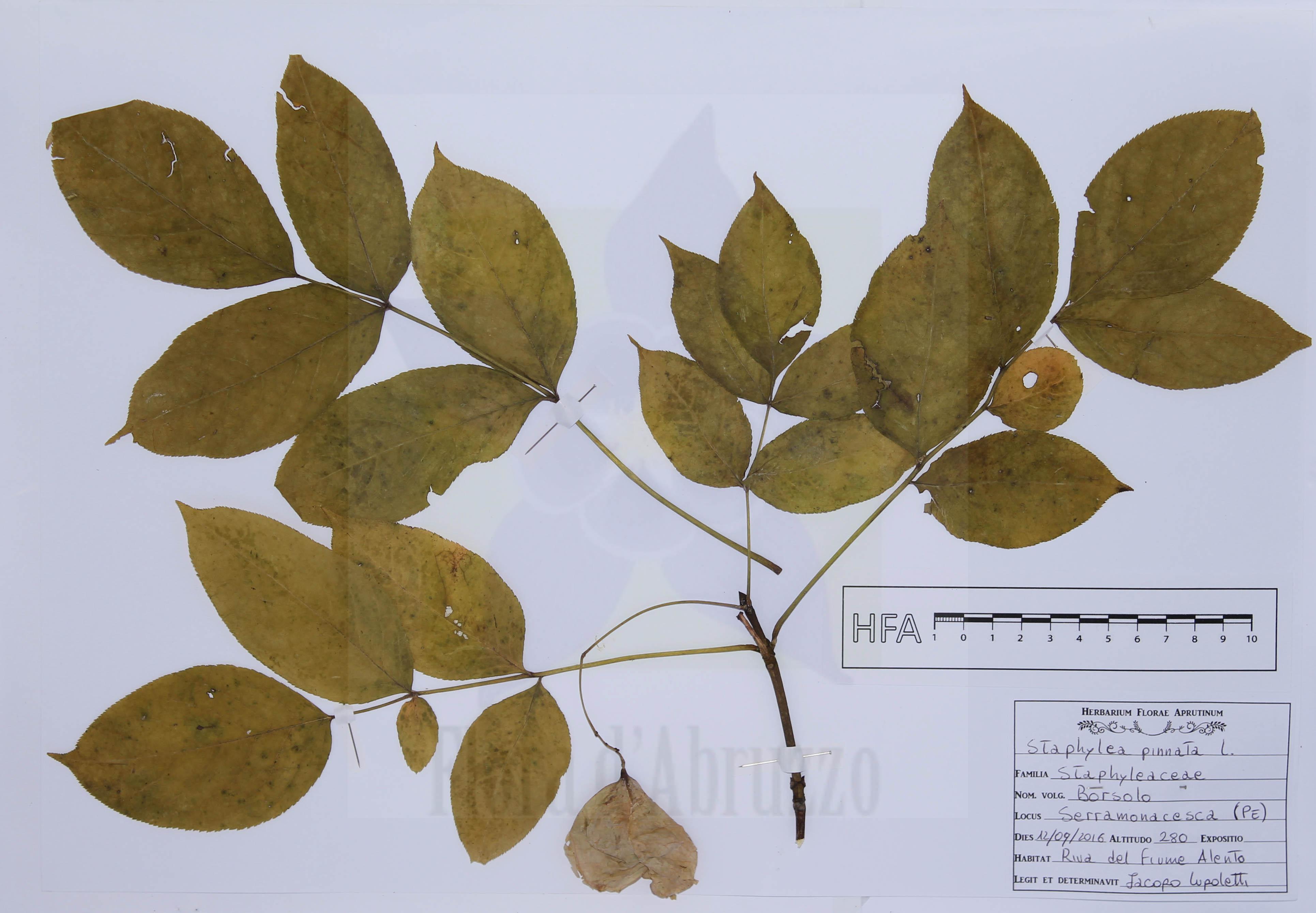 Staphylea pinnata L.