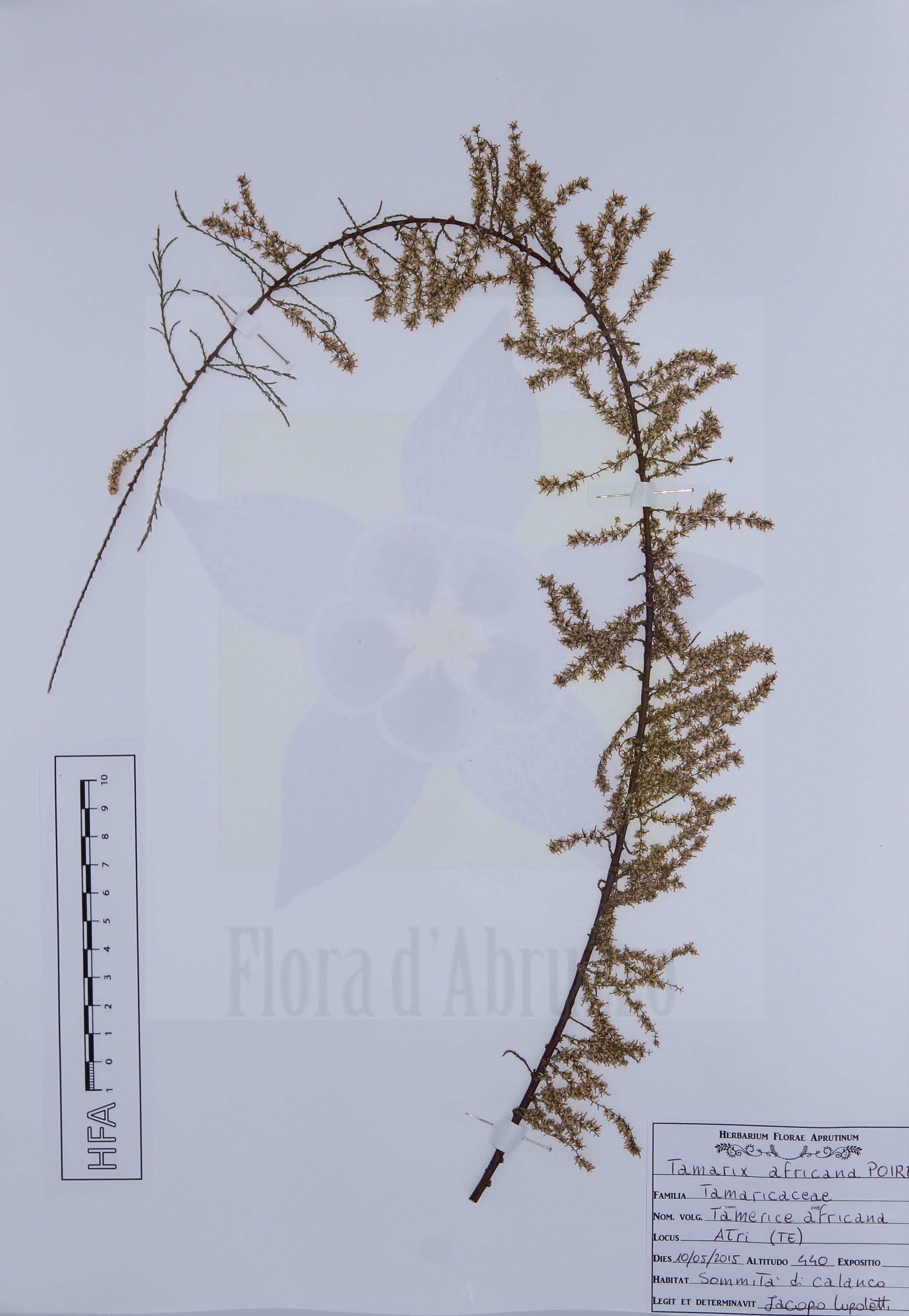 Tamarix africana Poiret