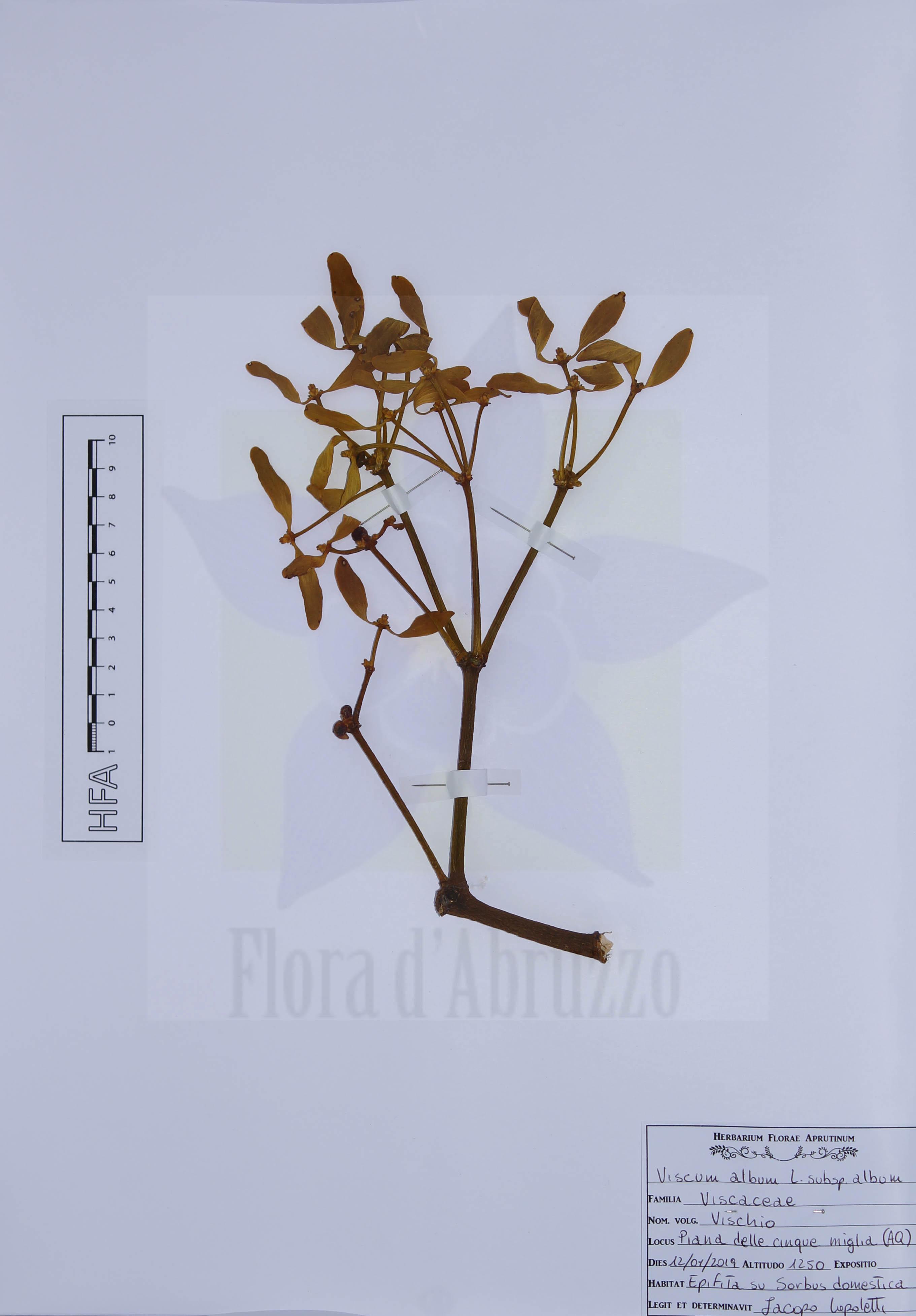 Viscum album L. subsp. album